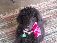 3 1/2 month old Standard Poodle pup. Female, reg, utd