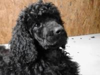We are looking for a good home for out standard poodle