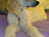 Sky is a gorgeous apricot cream male standard poodle,