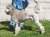 Artist is A.K.C. registered standard poodle rare silver