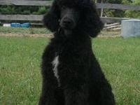 We have one Standard Poodle male available. He was born