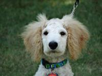 We are rehoming our Standard Poodle puppy by no fault