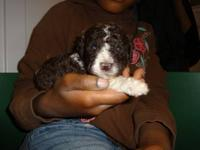 AKC registered born on September 30 standard poodle