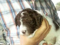 white and brown parti female readily available to