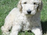 Litter of Standard Poodle Puppies Born on 2/14/13-