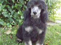 We have three gorgeous standard poodle puppies left.