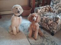 Our gorgeous AKC Registered Standard Poodles young