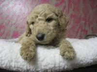 We are expecting beautiful, healthy AKC standard poodle