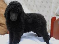 Gorgeous Standard Poodle Puppies One Beautiful Black