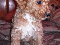 Available now, standard poodle puppies. They were born