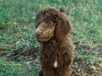 Standard Poodle Puppies.......14 weeks old......Born