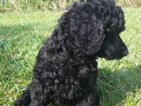 We have a very nice litter of AKC Standard Poodle