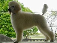 Taking deposits for beautiful AKC Standard Poodle