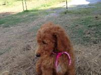 Six darling AKC Standard Poodle puppies. Parents on