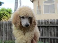 We have for sale standard poodle puppies.They have AKC