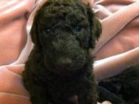 AKC Standard poodle puppies, Great pedigree,