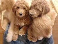 Grandma's house has Standard Poodle puppies that are