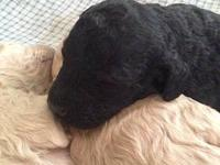 Purebred Standard Poodle Puppies will be ready to go to