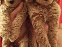 Beautiful male & female Standard Poodle pups! CKC