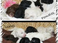 Requirement parti poodles born August 6 taking deposits
