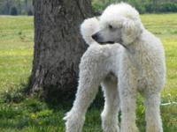 Standard Poodle Puppies (Coming Soon)   Mom is a