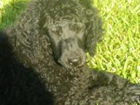 We have four black CKC standard poodle pups. They were