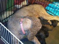 Akc standard poodle puppies 1year health. Genetic