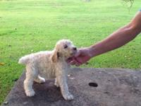 Litter of standard AKC poodles. Dad is 63 pounds and