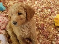 Lovable teddy bear like Standard Poodle Puppies. It