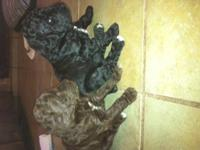 Registered AkC/APR standard poodle puppies for sale,