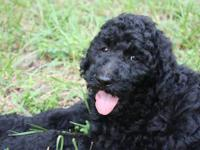 Adorable Boys!!!! Standard Poodle Puppies, all shots,
