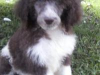 We have five gorgeous standard poodle puppies for sale.