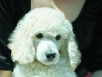 AKC Poodle Puppys- Only 2 white kids left the elegant