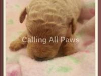 Beautiful and loving Standard Poodle Puppies friendly