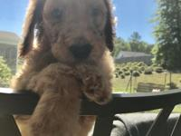 AKC and champion sired Standard Poodle puppy. Currently