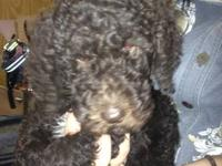 Female Standard Poodle - CoCoPuff - is a Chocolate