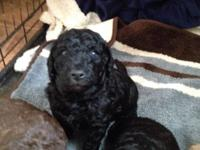 Last Standard poodle puppy in the litter! Easily my
