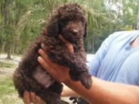 Brown standard poodle puppy,will come with 2 sets of