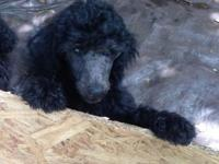 Standard Poodle Puppy. Silver female. $500.  This ad