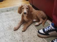 We need to rehome our male standard poodle puppy. We