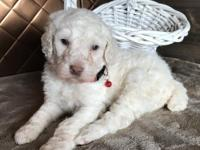 Meet Mack! Mack is a white standard poodle looking for