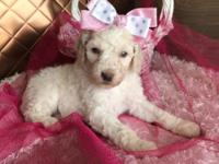 Meet Angelica! Angelica is a white standard poodle