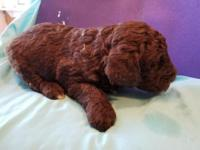 Awesome looking brown male Standard Poodle. From a