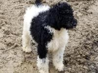 AKC TRI parti Standard Poodle Parents on site, Very