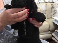 Adorable AKC female standard poodle puppy. Playful,