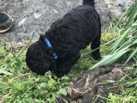 Black standard poodle male. Damon is looking for his