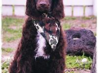 The Standard Poodle is one of the intelligent,loyal,