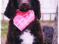 The Standard Poodle is one of the intelligent, loyal