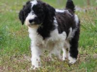Juke is a beautiful male standard poodle with an