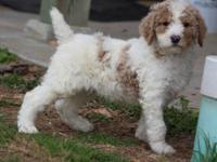 Jackson is a nice male standard poodle! He has the
